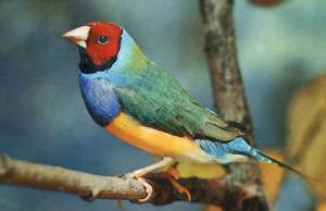 Птицы Амандины