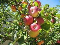Косточка яблони